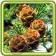 Пихта зеленая - EXTRA отдушка парфюмерно-косметическая